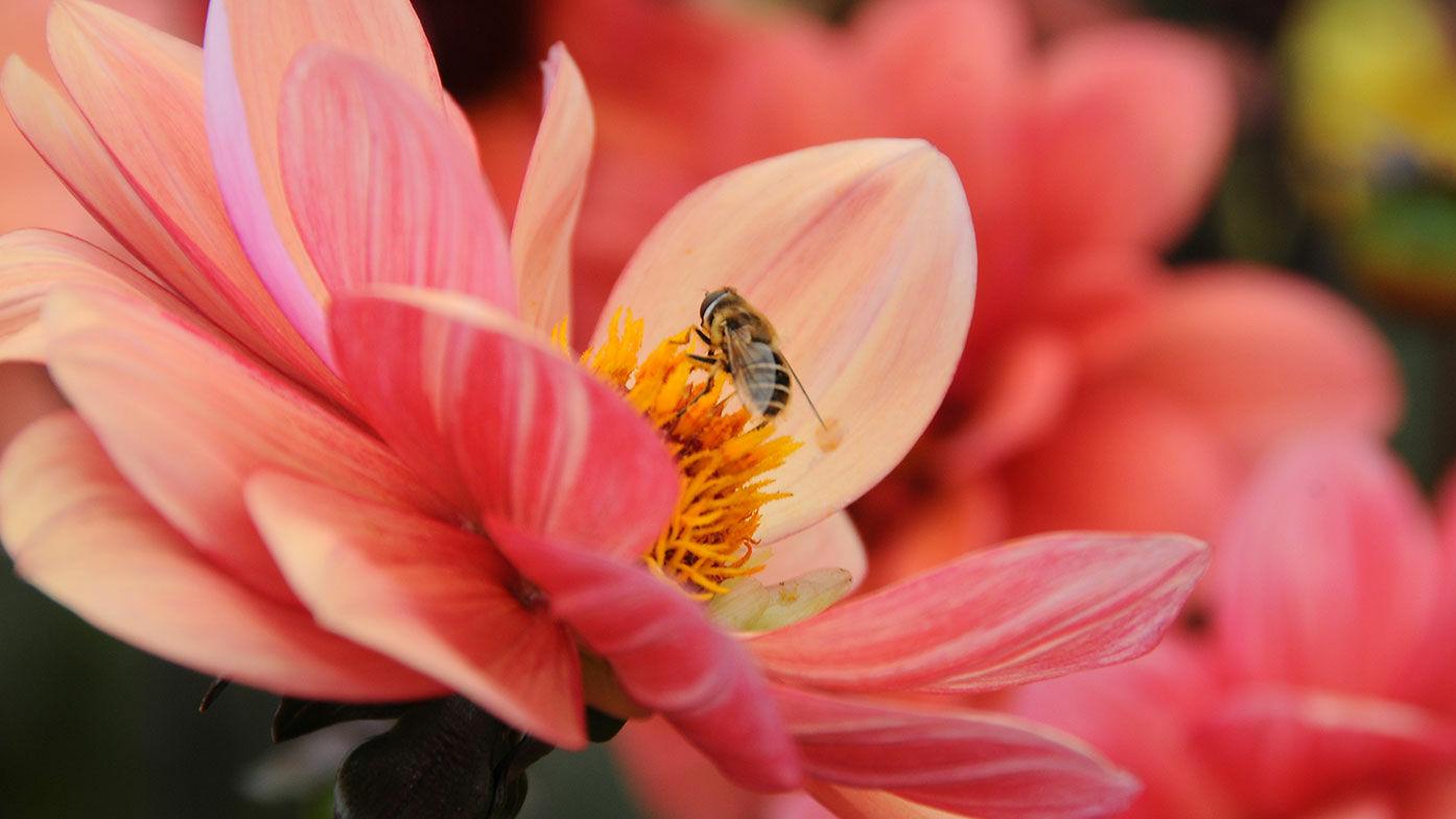 Dahlien – jetzt Powerblüher für Bienen pflanzen