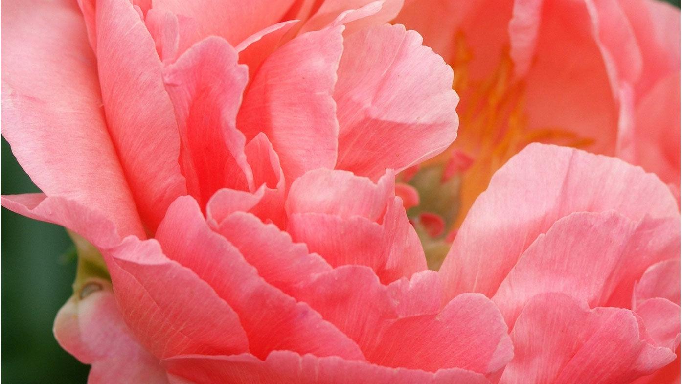 Päonien – Blütenglück für viele Jahre