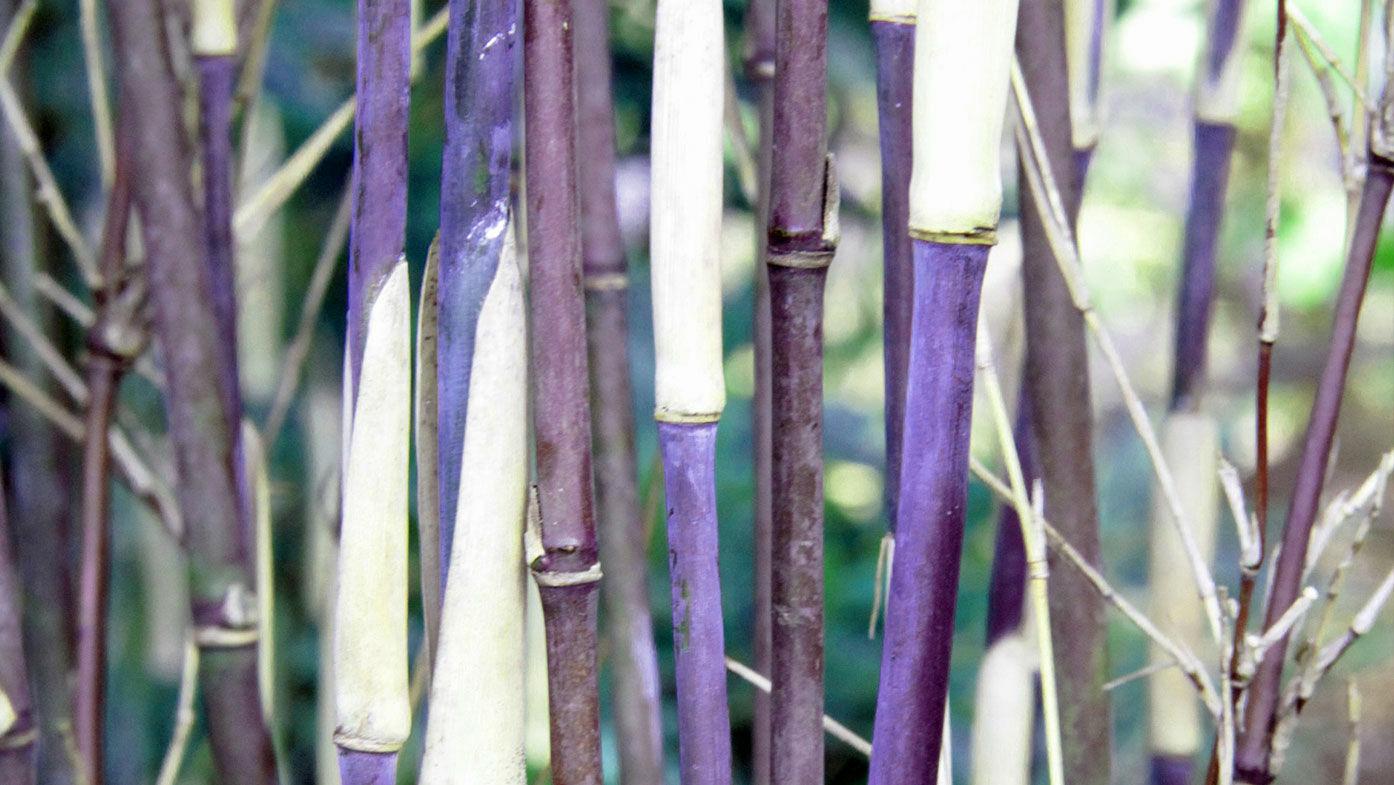 So klappt's mit dem Bambus im Garten oder auf dem Balkon