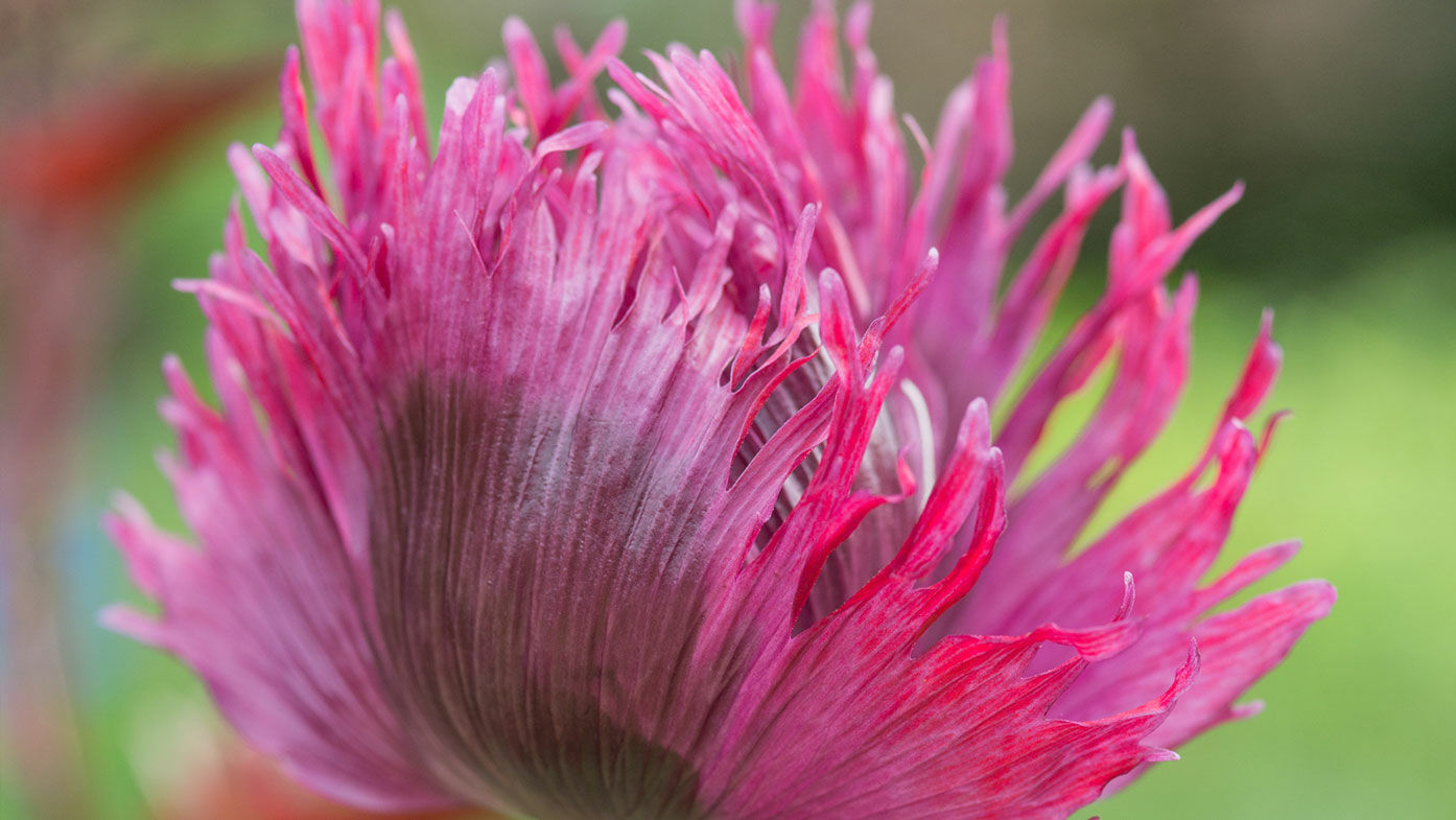 Mohn – zarte Blüten zum Träumen
