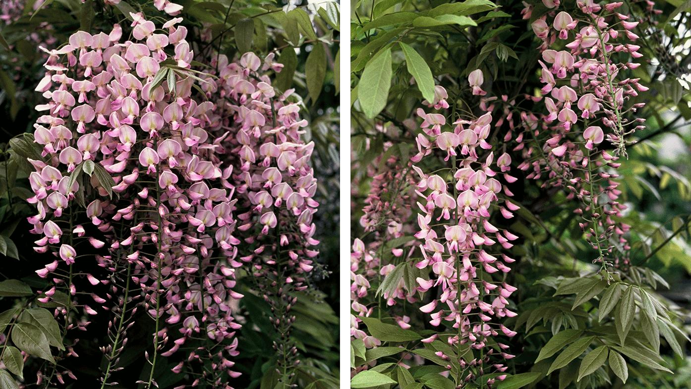 Blauregen – farbenfrohe Blütenkaskaden auf kleinstem Raum