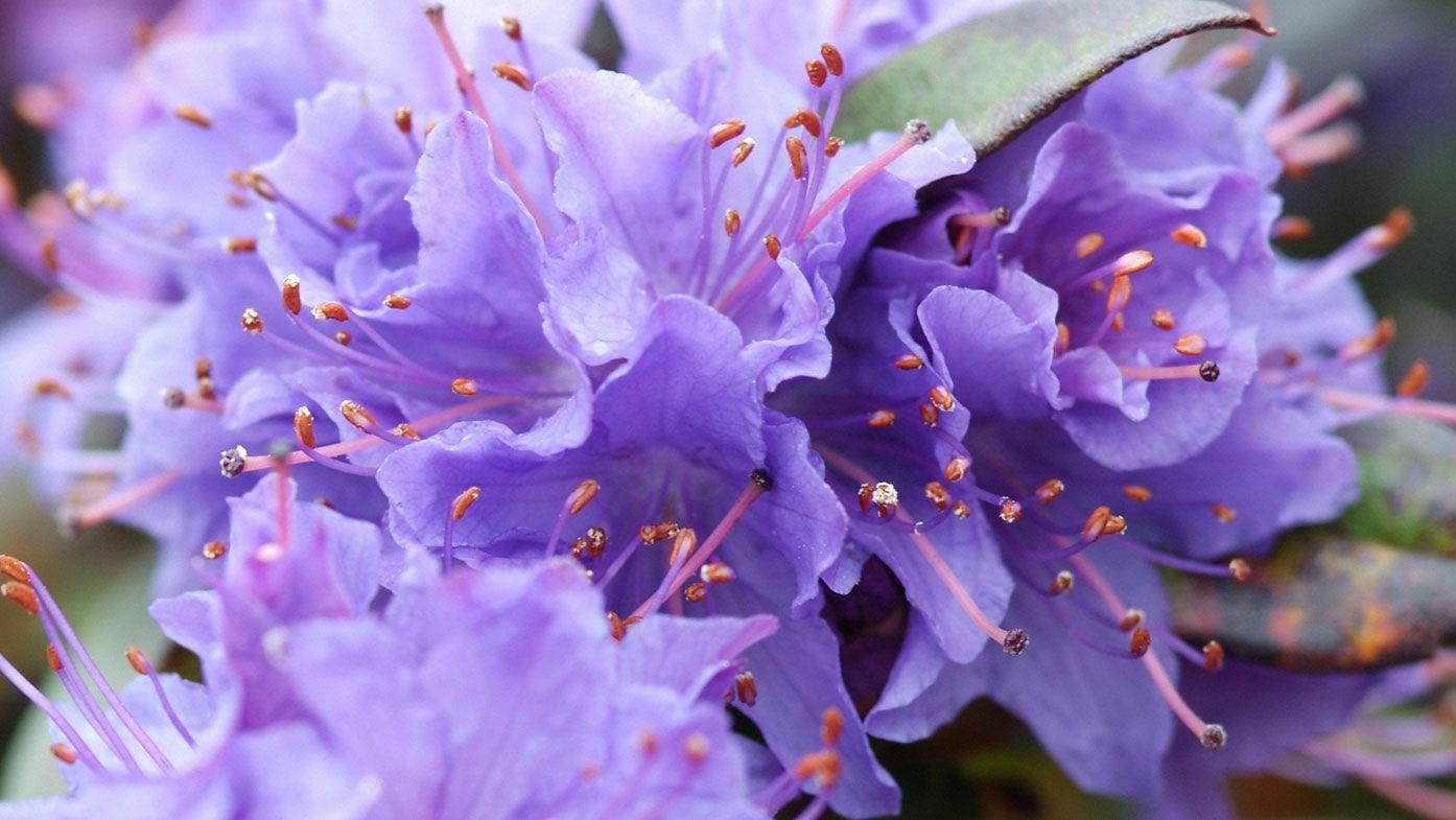 Rhododendron - Blütenpracht im Frühlingsgarten