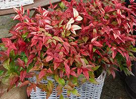 Rote Früchte im Winter