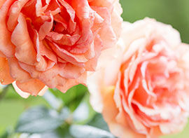 Jetzt wurzelnackte Rosen pflanzen