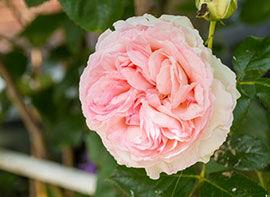 Rosen – der Liebling der Deutschen