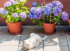Gartenhortensien - Farb- und formenreich