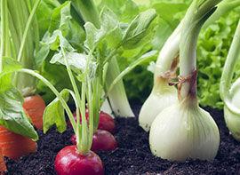 Selbst Gemüse anziehen