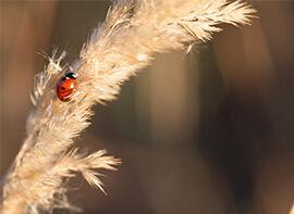 Die bekannteste Art aus der Familie der Marienkäfer
