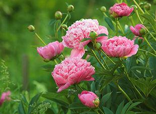 Der rosafarbene Frühlingsgarten