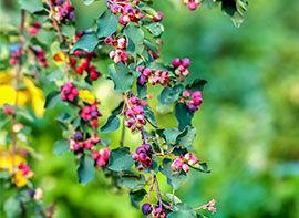 Wildobst – besondere Geschmackserlebnisse aus dem eigenen Garten