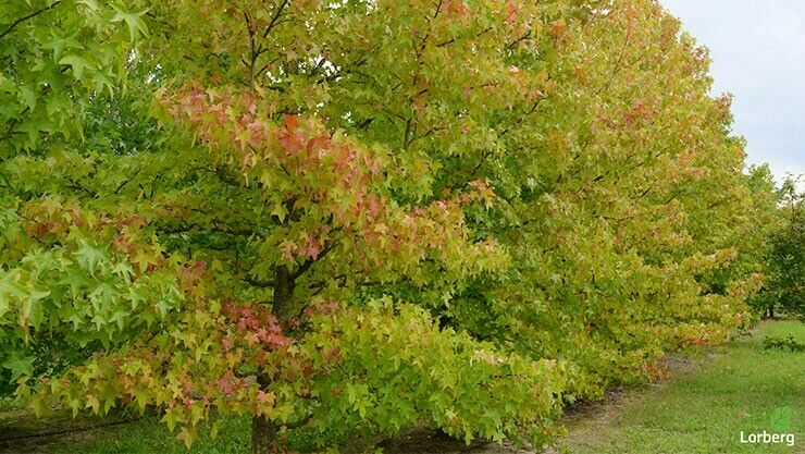 Der Amberbaum im Indian Summer