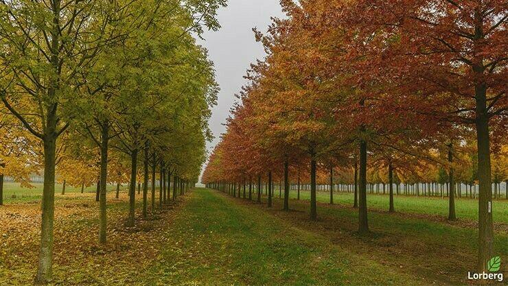 Quercus Palustris Reihe im Indian Summer