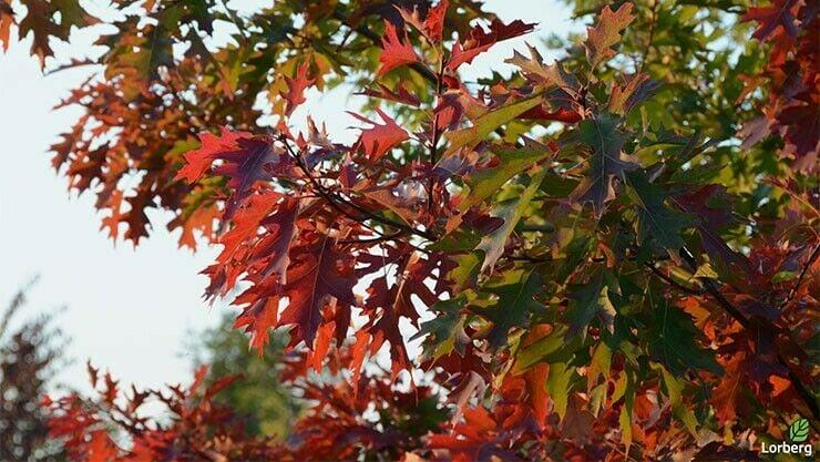 Quercus Palustris im Indian Summer