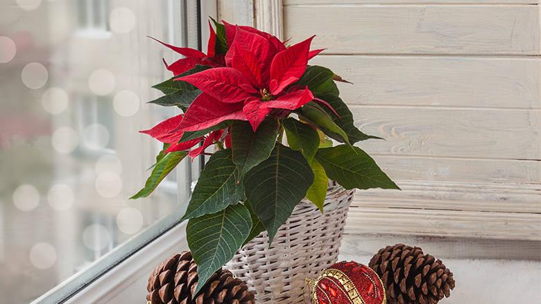 Christbaumkugeln Aubergine.Unsere Top 5 Weihnachtsbaum Ersatz Zimmerpflanzen