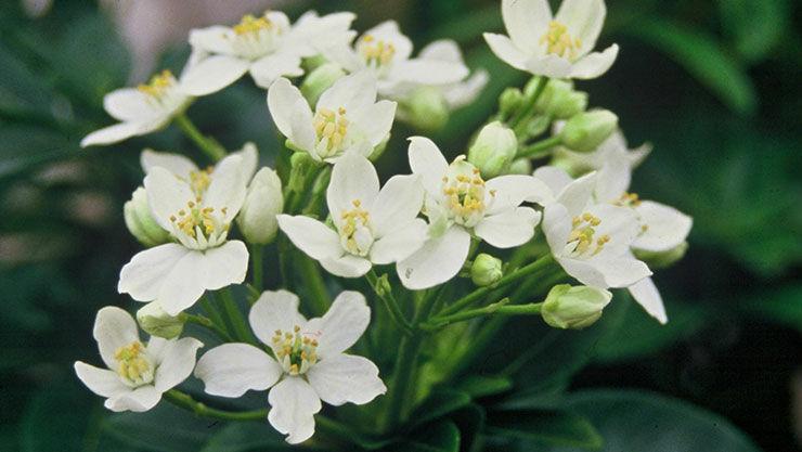 Choisya als immergrüne Pflanze im Garten