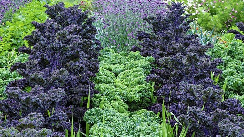 Lila und grüner Küchengarten