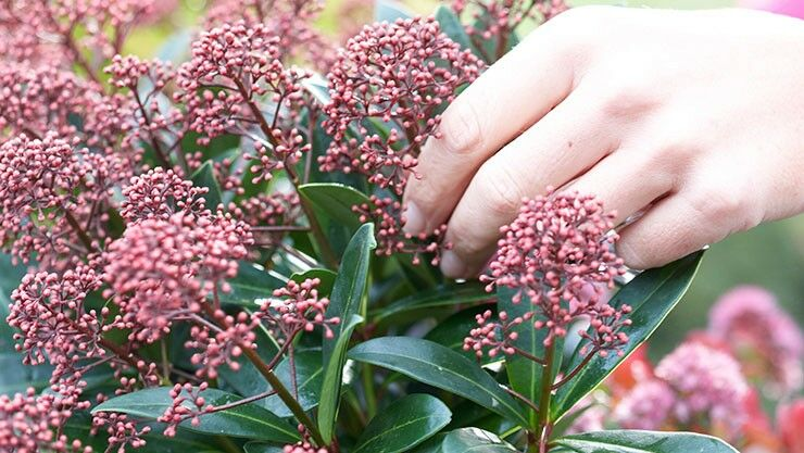 Skimmia als immergrüne Pflanze im Garten