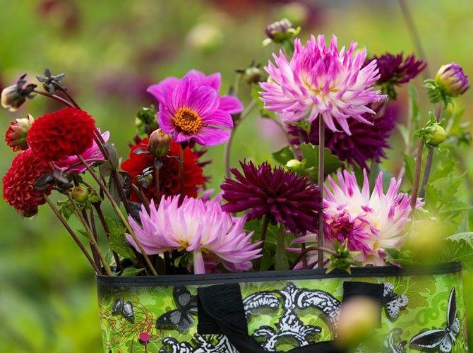 Schnittblumen Dahlien