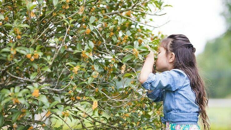 Die Duftblüte (Osmanthus) ist die Pflanze des Monats November 2017