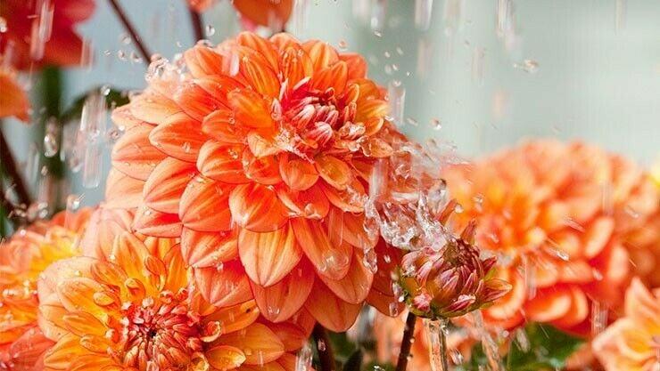 Blütenbildung bei Dahlien anregen