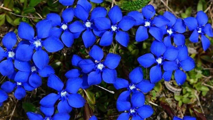 Bayerische Enzian (Gentiana bavarica) in blau