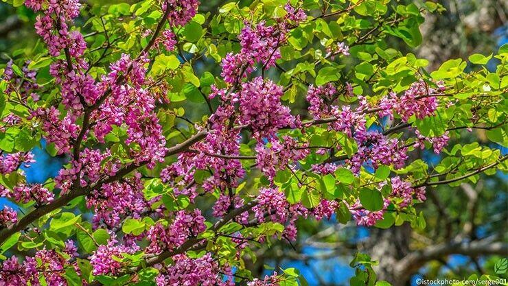Judasbaum im Frühling