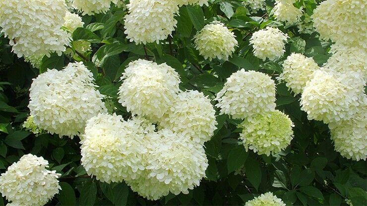 Rispen-Hortensie (Hydrangea paniculata) im weißen Sommergarten