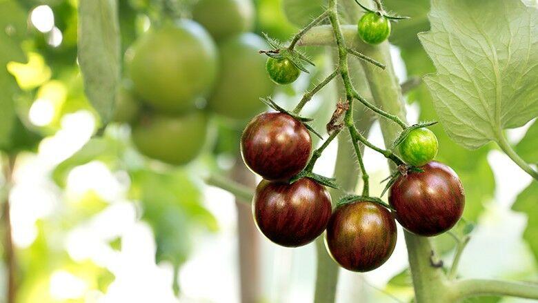 Russische schwarze Tomate