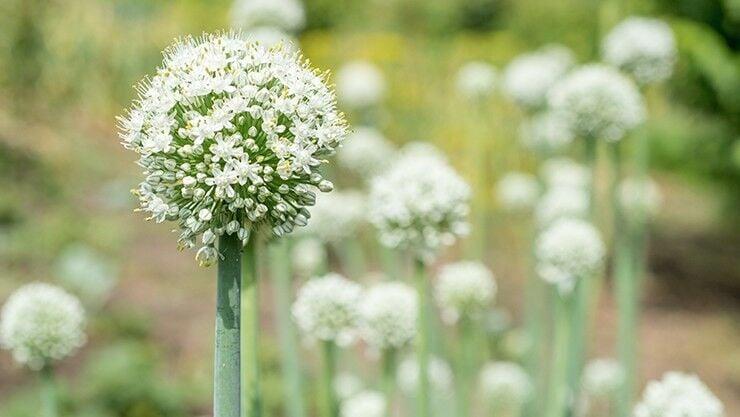 Zwiebel (Allium cepa) im weißen Sommergarten