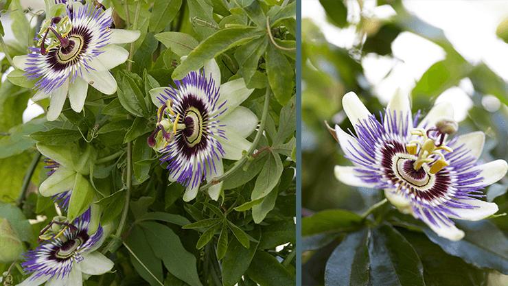 Blaue Passionsblume (Passiflora caerulea) ist ein Blickfang als Kübelpflanze