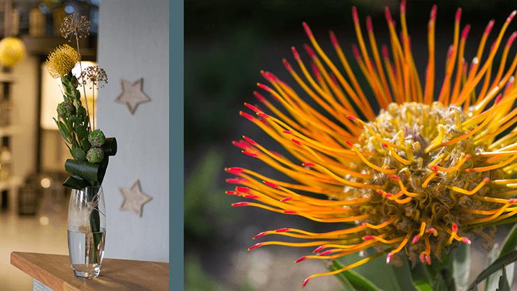 Leucospermum für den Frühling im Haus