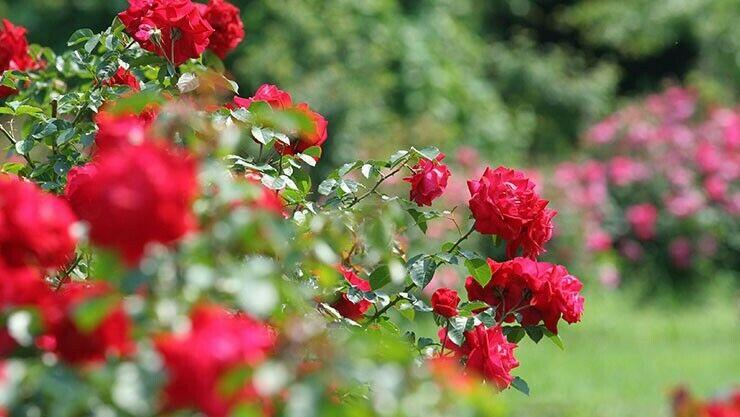 Rosen im März zurückschneiden