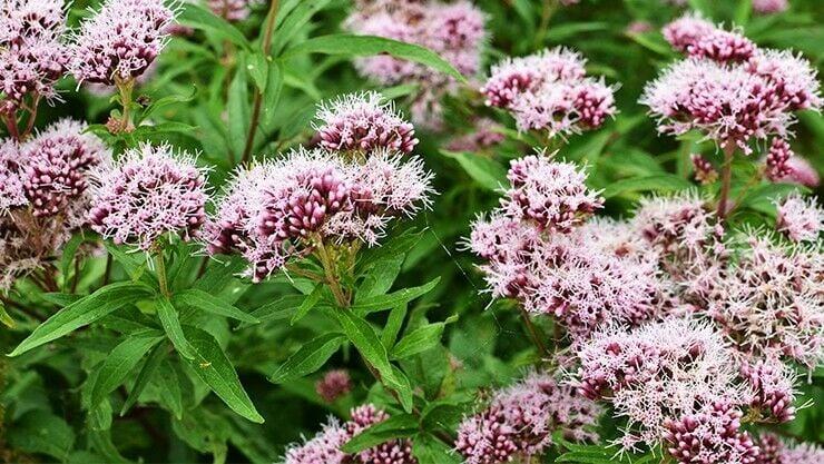 Baldrian im Wildblumenbeet