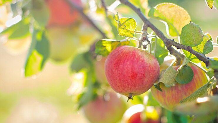 Tipps für den Obstbaumschnitt im Sommer