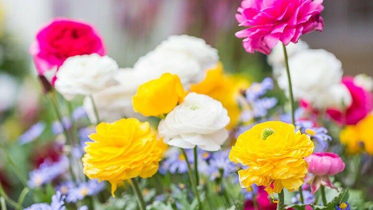 Rankunkeln für den Frühling im Garten