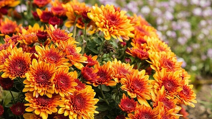 Garten-Chrysantheme (Chrysanthemum × grandiflorum) ist Pflanze des Monats September