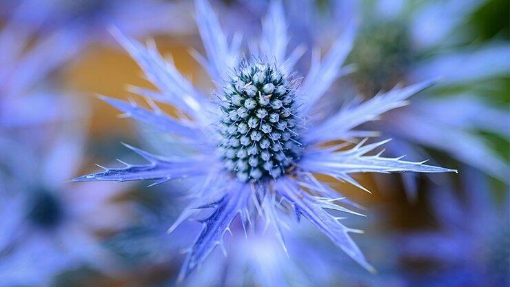 Edeldistel (Eryngium Alpinum)