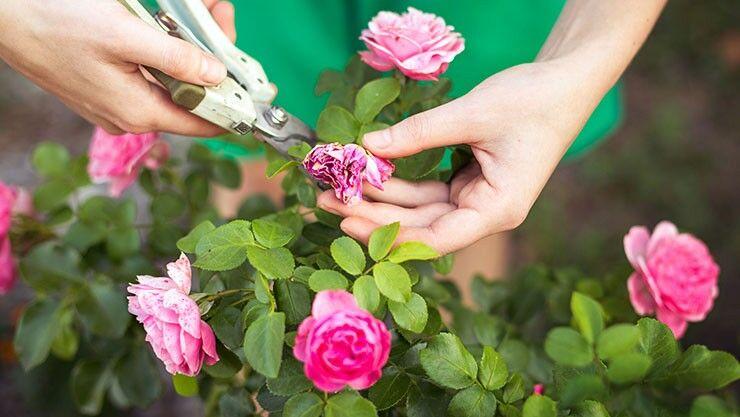 Verblühte Blüten im Juli abschneiden