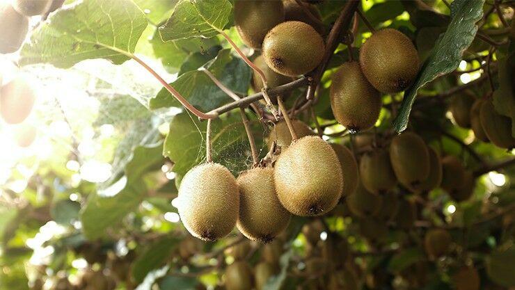 Kiwis als außergewöhnliches Geholz im Garten