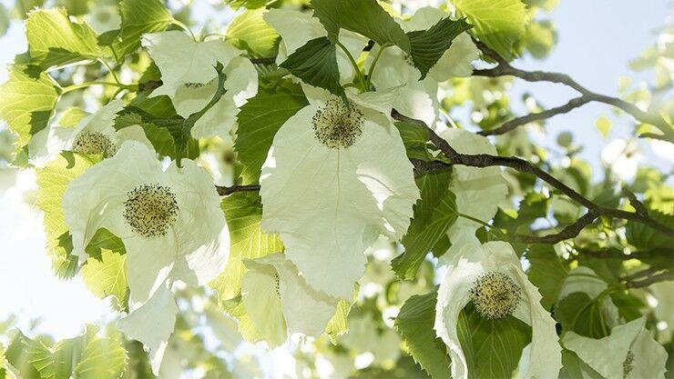 Unbekannte Schönheit: Der Taschentuchbaum