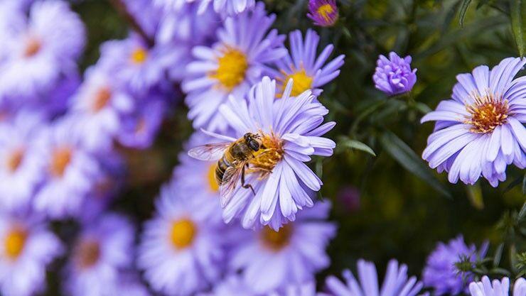 Herbstaster als Nektarquelle für Wildbienen