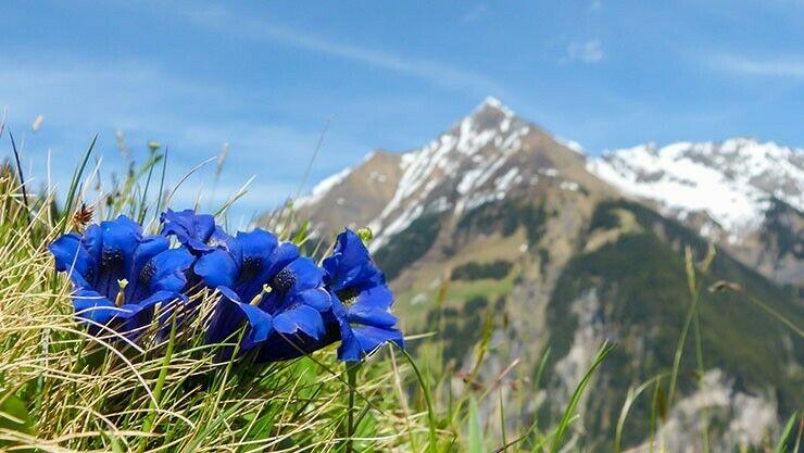 Enzian ist die Blume des Monats August