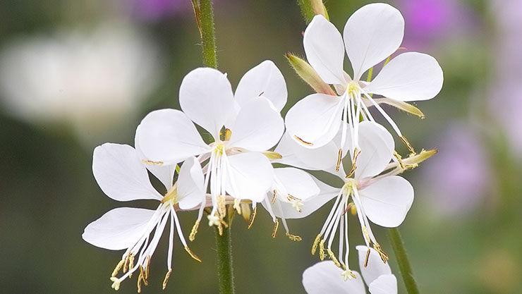 Prachtkerze (Gaura lindheimeri) hat sehr filigranen Blüten