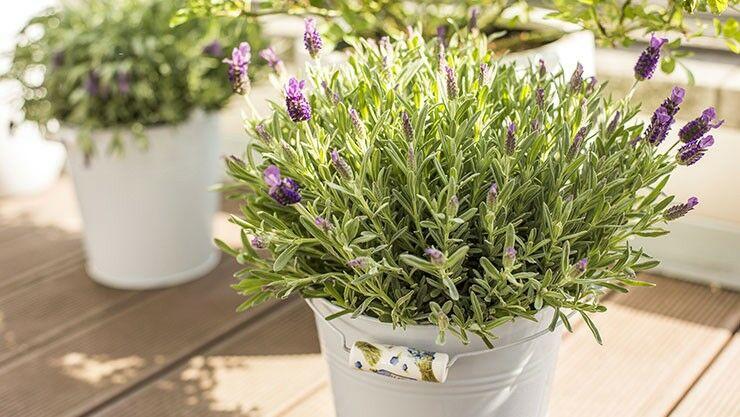 Lavendel im März zurückschneiden