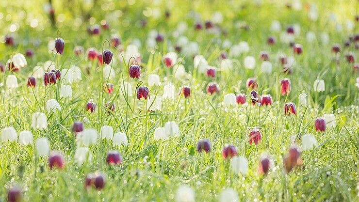 Die Schachbrettblume – Fritillaria meleagris – hat andere Ansprüche als die meisten Zwiebelblumen