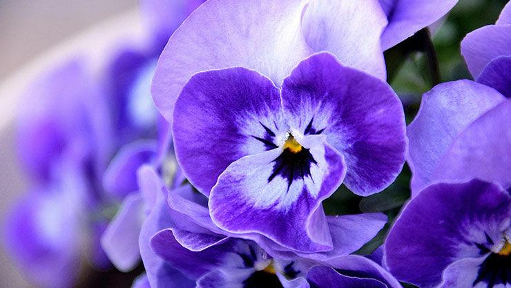 Der Steckbrief des Veilchens (Viola) zur Pflanze des Monats Oktober 2017