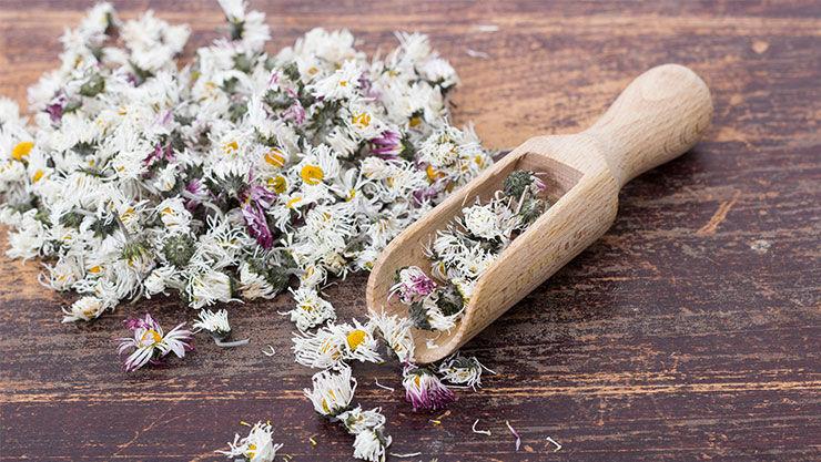 Gänseblümchen als Heilpflanze