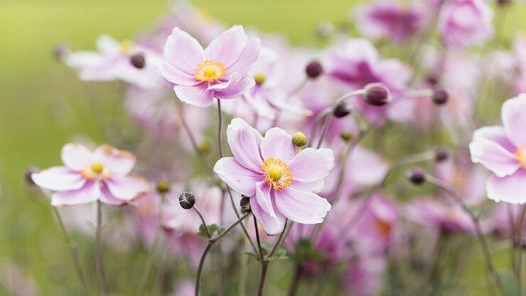 Anemonen für den Frühling