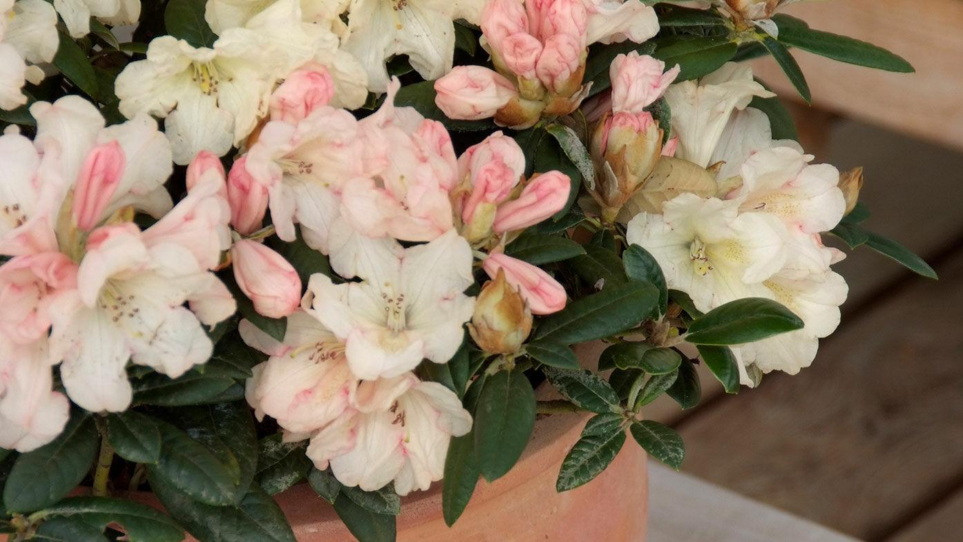 Rhododendron yakushimanum Dusty Miller