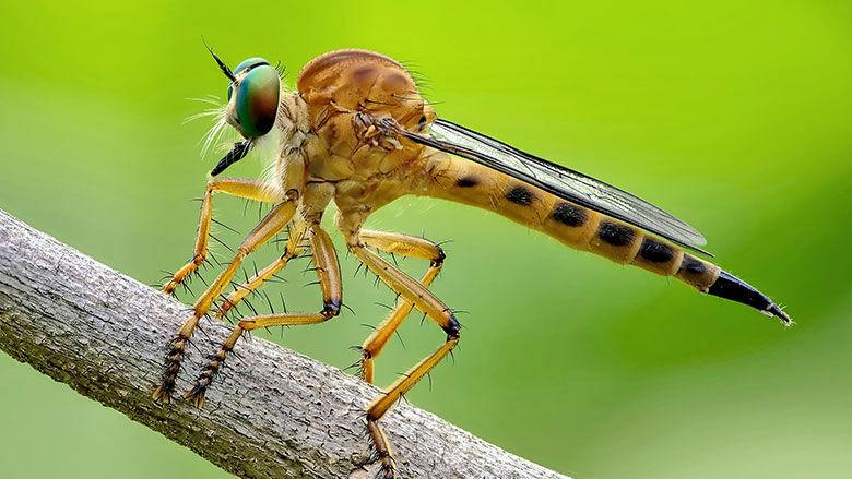 Die Raubfliege (Asilidae)